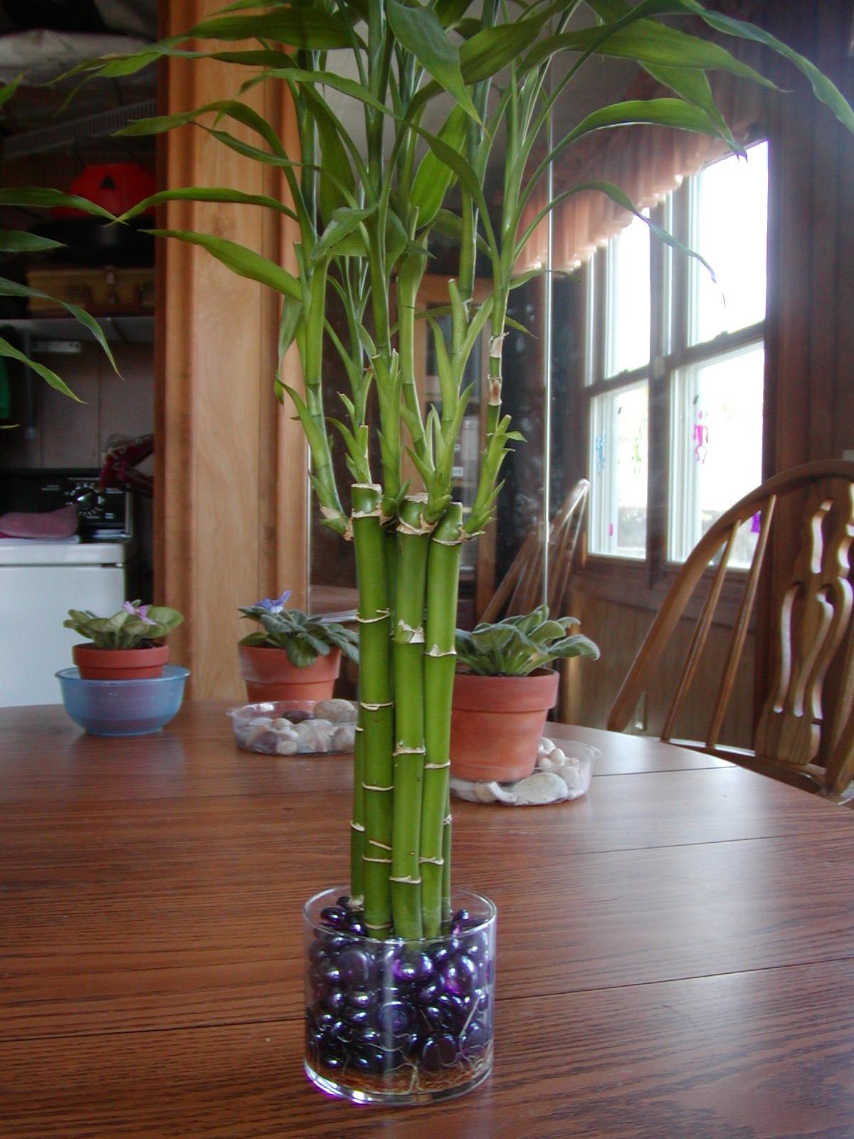 Драцена бамбук