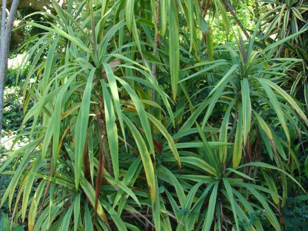 Cordyline stricta, кордилина прямая фото